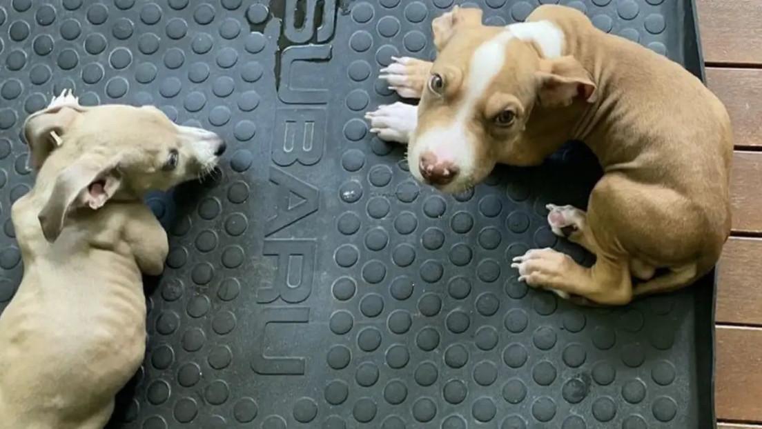 """A una pareja vegana se le prohíbe tener mascotas después de alimentar a sus cachorros  """"demacrados"""" con una dieta sin carne"""