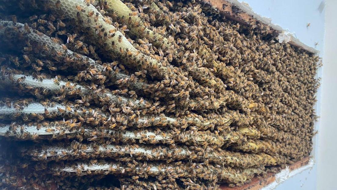 VIDEO: Descubre en su sala más de 100.000 abejas (y no es la primera vez que su casa sirve de colmena)