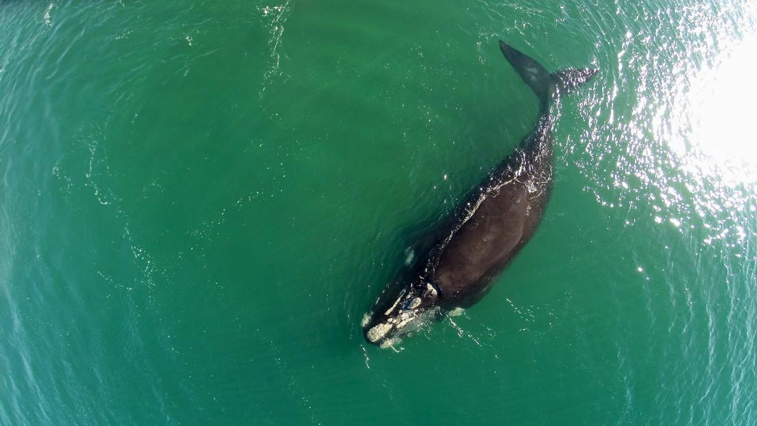 VIDEO: Momento en que dos ballenas en peligro de extinción 'se abrazan' nadando en el Atlántico