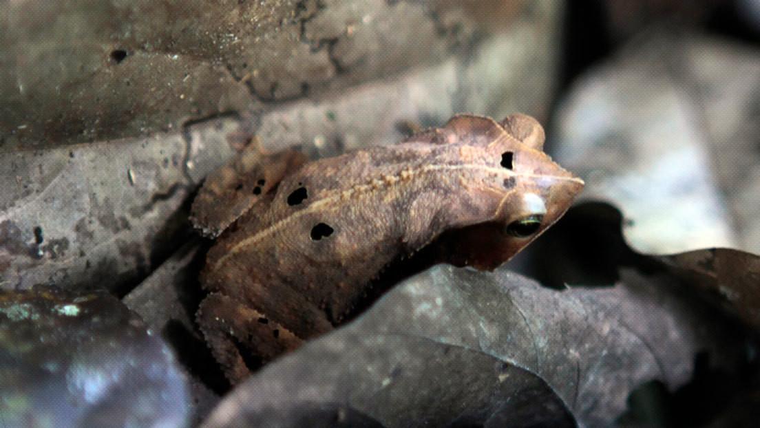 VIDEO: Encuentran a una enorme rana del tamaño de un bebé humano en las Islas Salomón