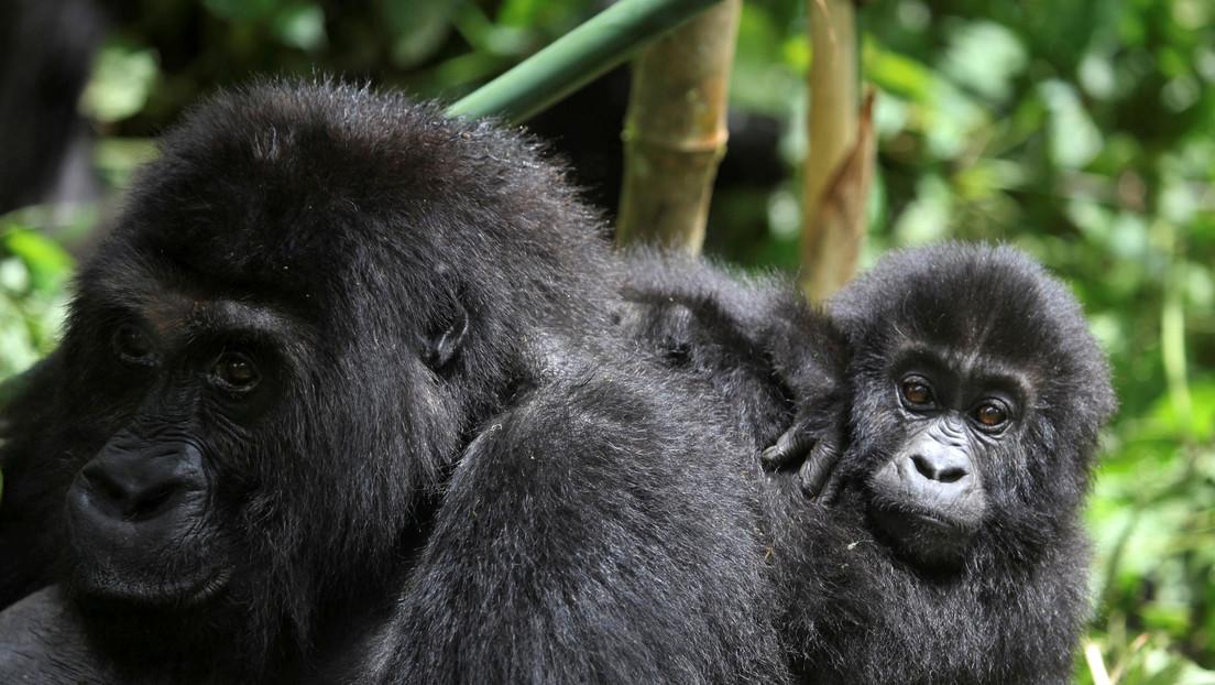 VIDEO: Una gorila comparte un tierno momento con una madre y su bebé en un zoológico de EE.UU.
