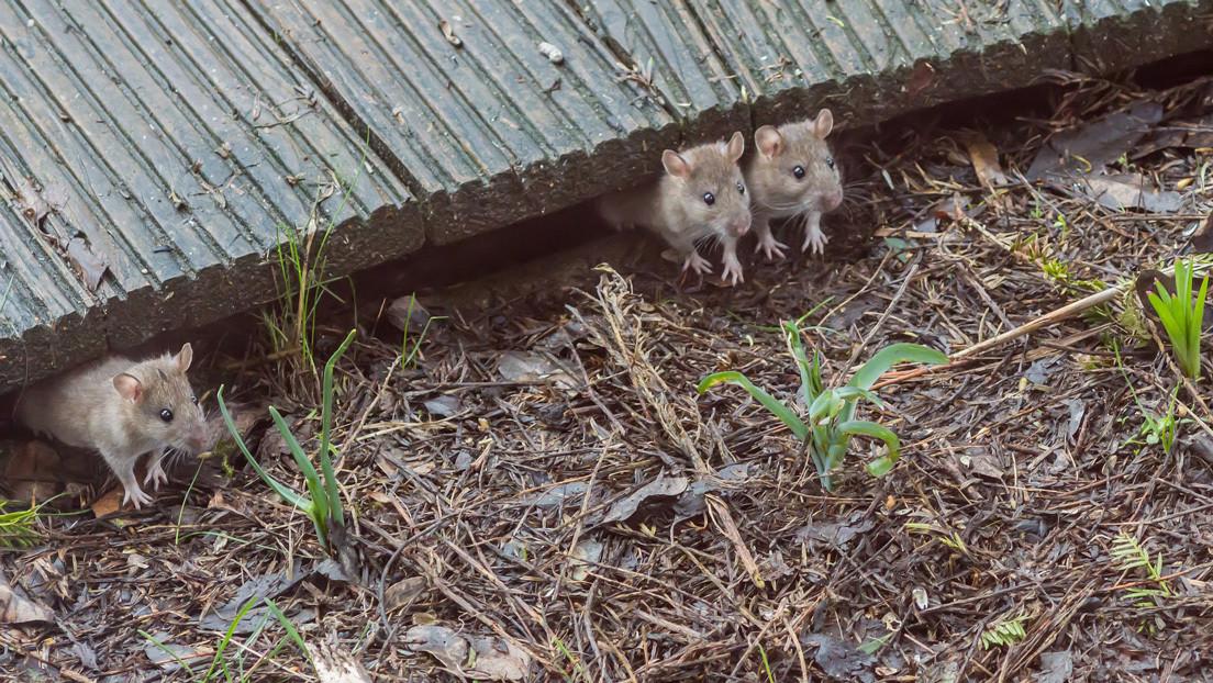 """Captan una """"lluvia de ratones"""" en una granja de Australia (VIDEO)"""
