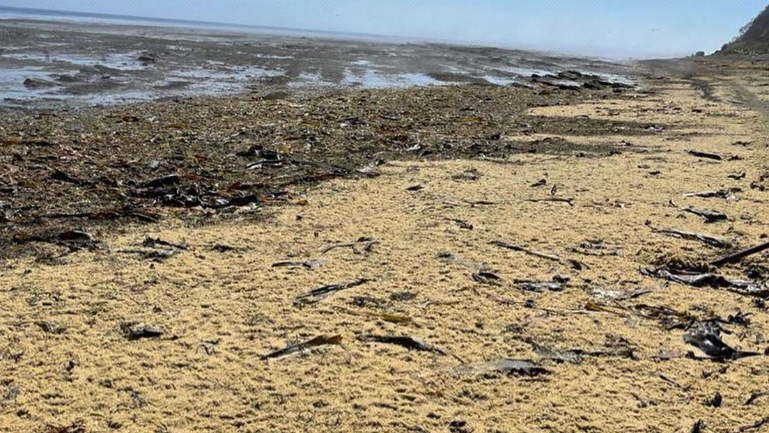 VIDEO: Toneladas de caviar cubren las playas de Sajalín y los rusos lo recogen a paletadas