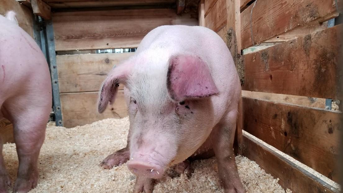 Descubren que cerdos, ratones y ratas pueden respirar a través de sus intestinos