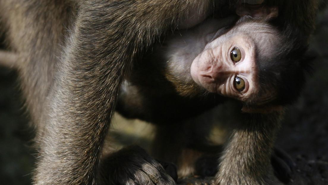 Los laboratorios chinos se quedan sin monos