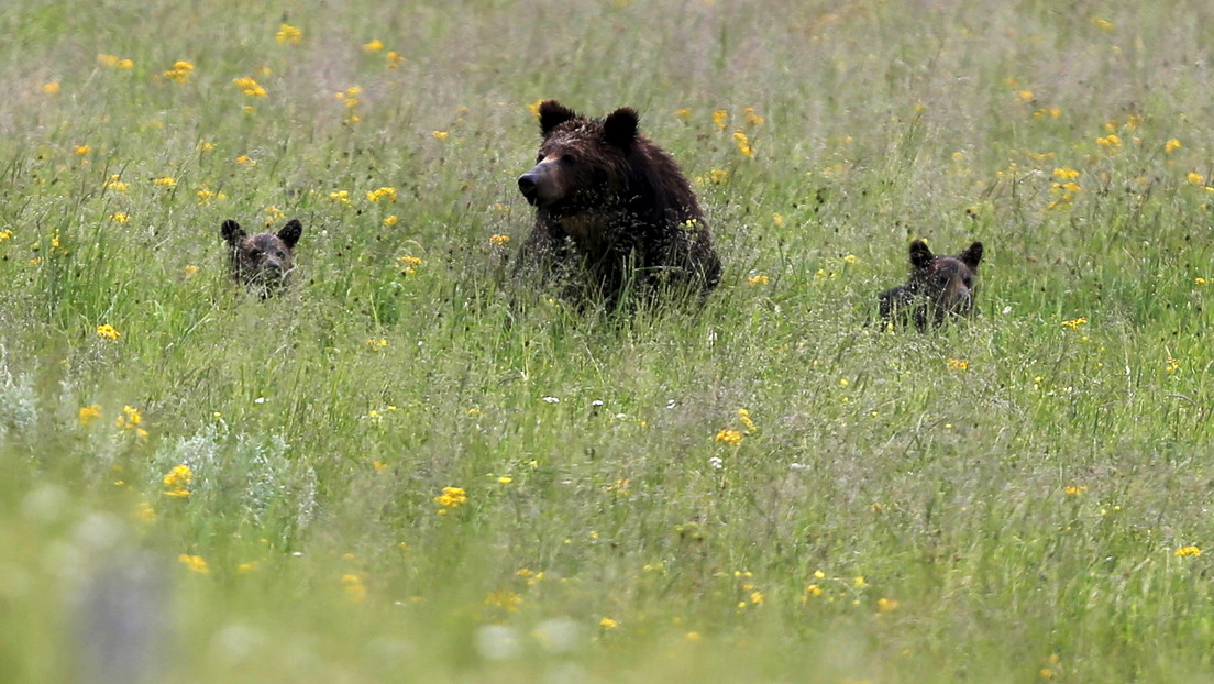 VIDEO: Un oso grizzly amaga con atacar a una turista que se acercó demasiado a su manada en Yellowstone