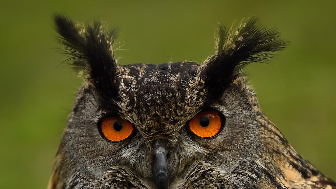 Confirman la observación de una rara especie de búho con ojos anaranjados por primera vez desde 1892 (FOTO)