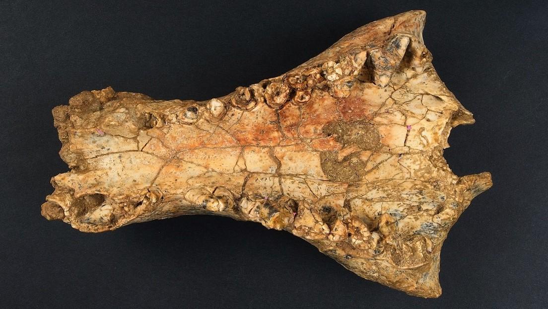 Di Australia mereka menemukan jenis baru buaya besar yang hidup 25 juta tahun yang lalu