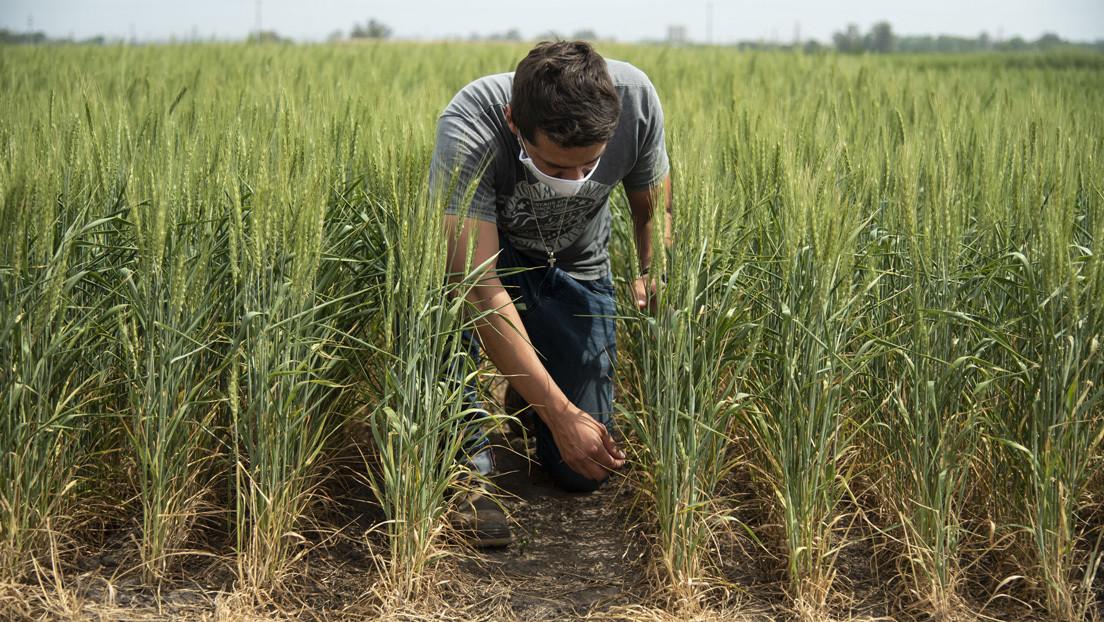 'Chau Havanna': El anuncio del alfajor más tradicional de Argentina enciende la alarma sobre los peligros del trigo transgénico