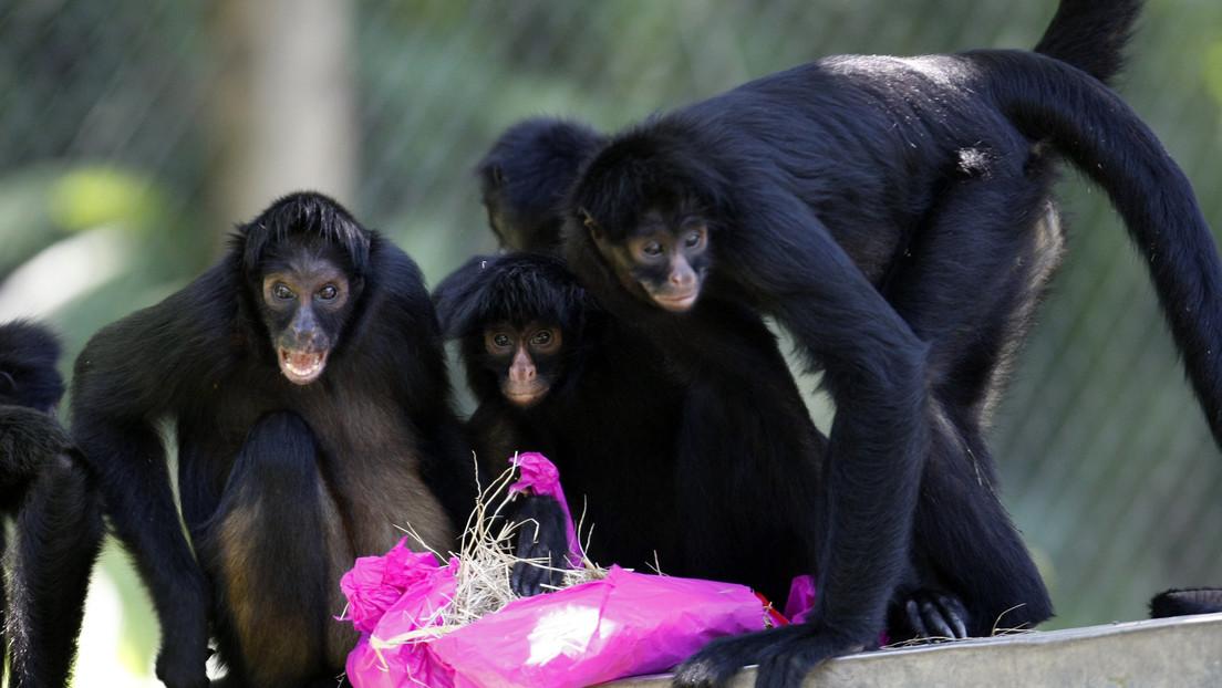 VIDEO: Un zoo de EE.UU. presentará cargos contra una mujer que irrumpió en el recinto de monos araña e intentó alimentarlos
