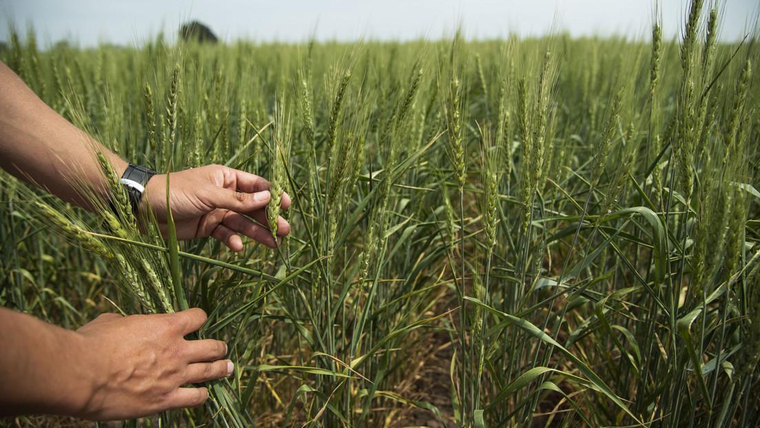 ¿Marcha atrás? La fábrica de alfajores argentinos Havanna aclara que por el momento ninguno de sus productos contiene trigo transgénico