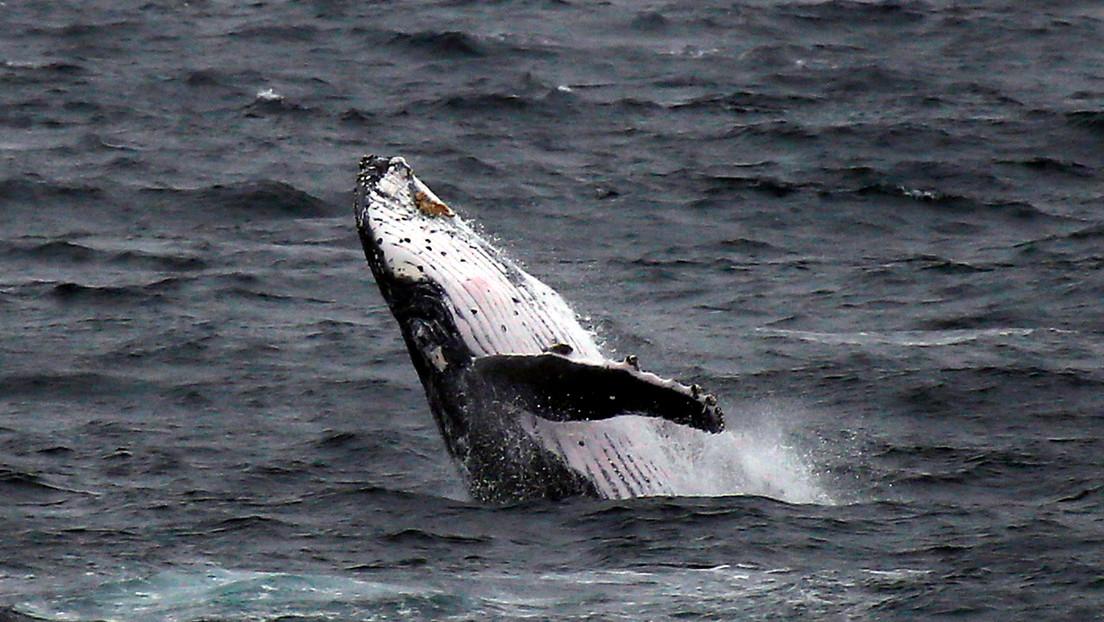 Hallan una ballena jorobada muerta en una playa del Mediterráneo francés (FOTO)
