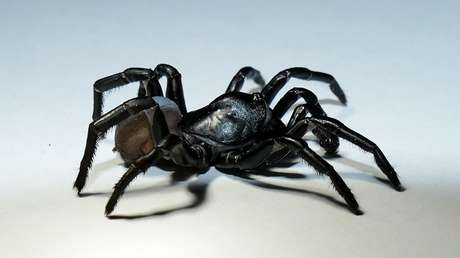 Identifican en Florida una nueva especie de araña parecida a una tarántula