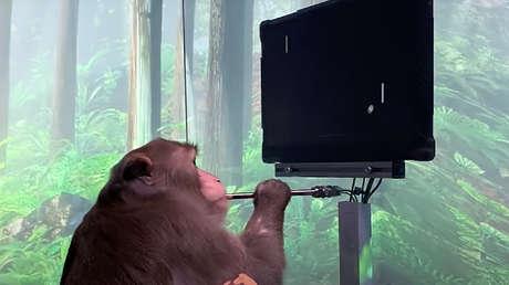 Hombre con un implante cerebral desafía al mono con un 'chip' de Elon Musk a un partido de 'Pong' mental