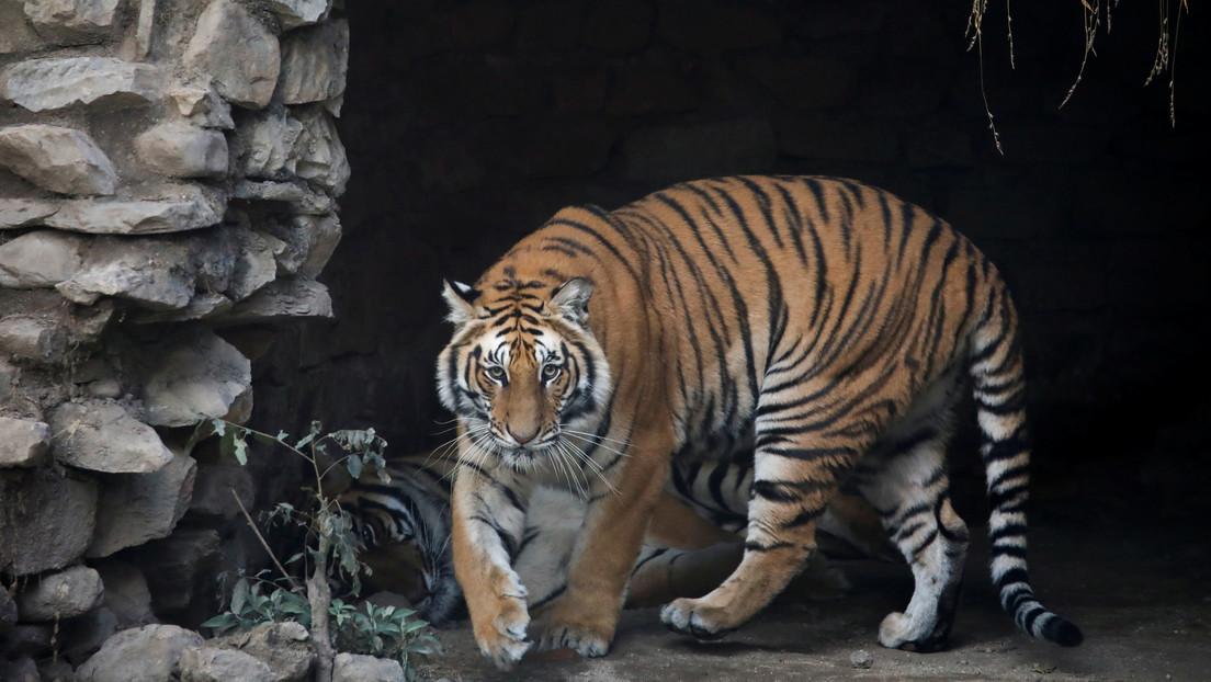 Tras 20 años de búsqueda arrestan en Bangladés a un sospechoso de matar a 70 tigres de Bengala