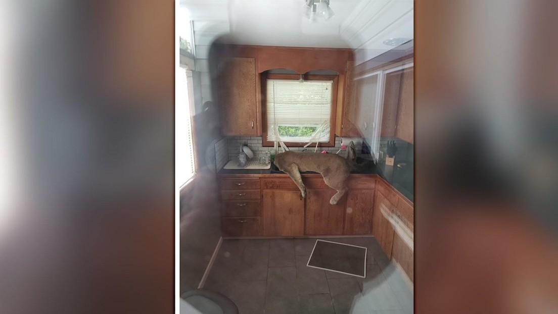 VIDEO: Un puma entra en una casa y termina inconsciente en el fregadero de la cocina