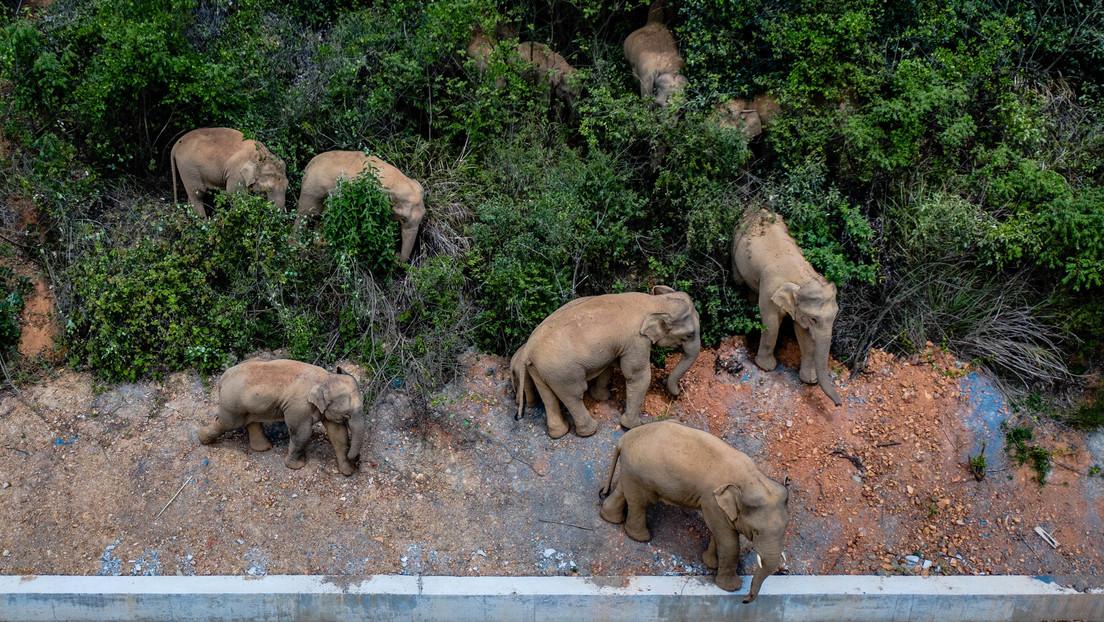 Drones, 600 personas y 103 vehículos: el descomunal operativo en China para lidiar con una imparable manada de elefantes