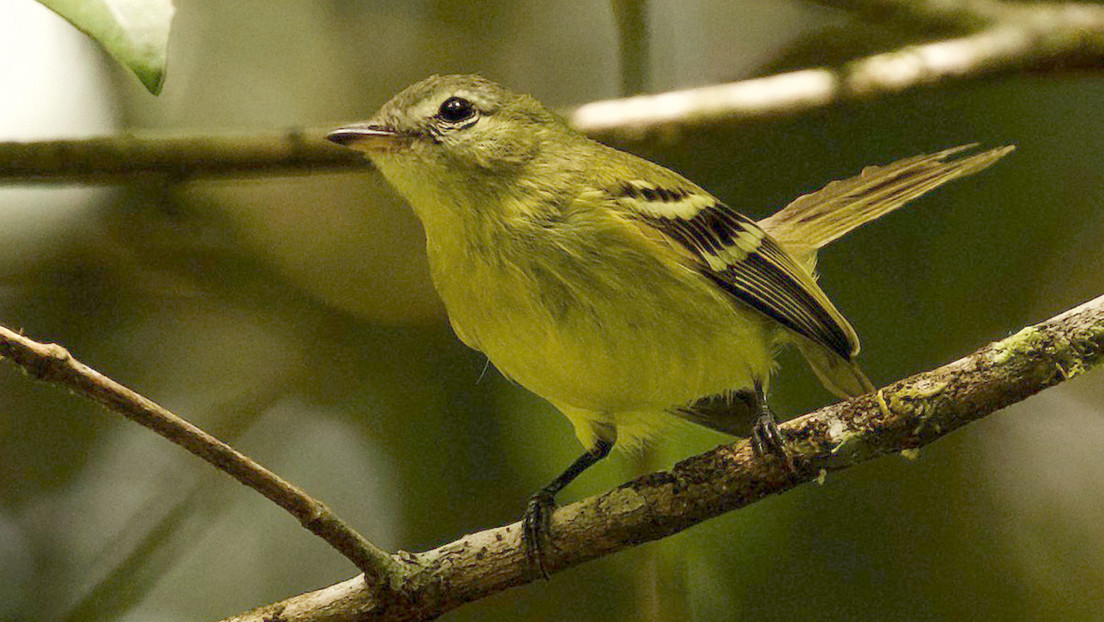 """Redescubren a un """"raro"""" pájaro venezolano que no había sido observado en los últimos 16 años"""
