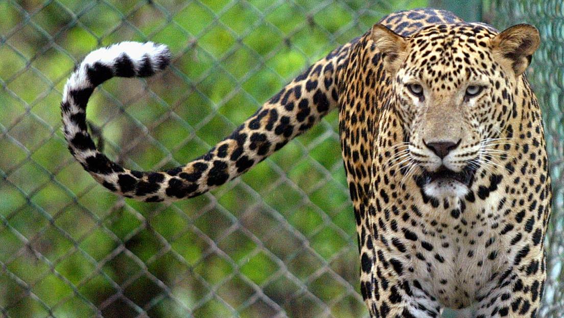 Una niña muere tras ser mutilada por un leopardo en la fiesta de cumpleaños de su hermano
