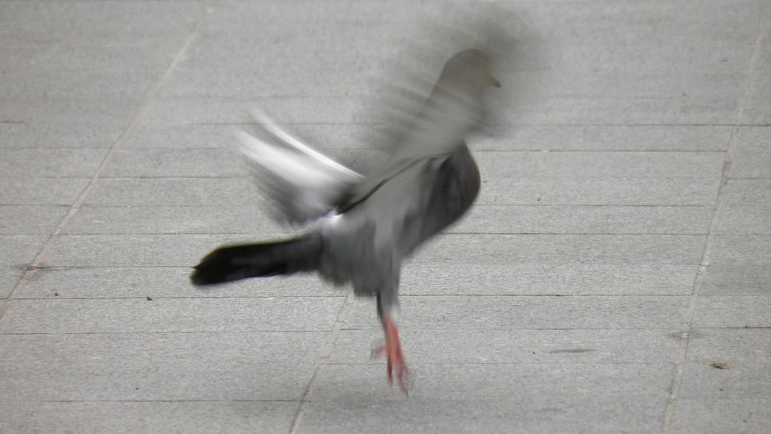 VIDEO: Una paloma 'sin cabeza' asusta a los usuarios de TikTok (pero no hay motivos para preocuparse)