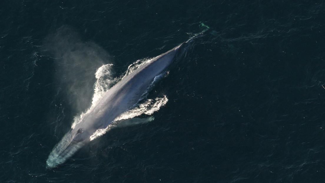 Descubren una nueva población de ballenas azules pigmeas gracias a detectores de bombas nucleares