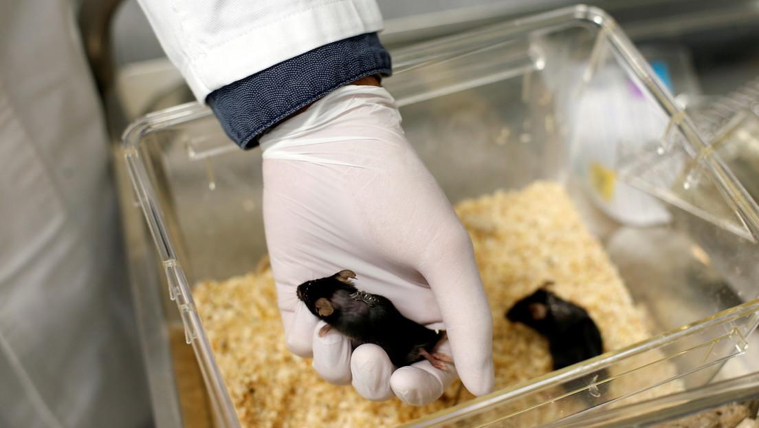 Nacen ratones sanos a partir de espermatozoides conservados en el espacio durante casi seis años