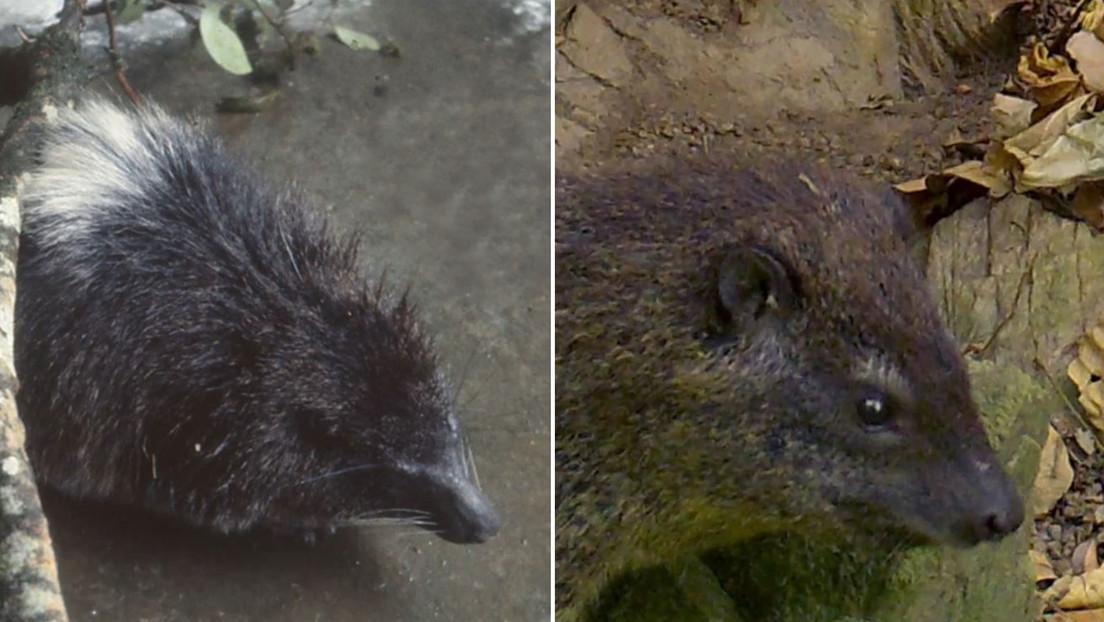 Descubren una nueva especie de mamífero en África gracias al inquietante 'ladrido' nocturno que produce (VIDEO, AUDIO)
