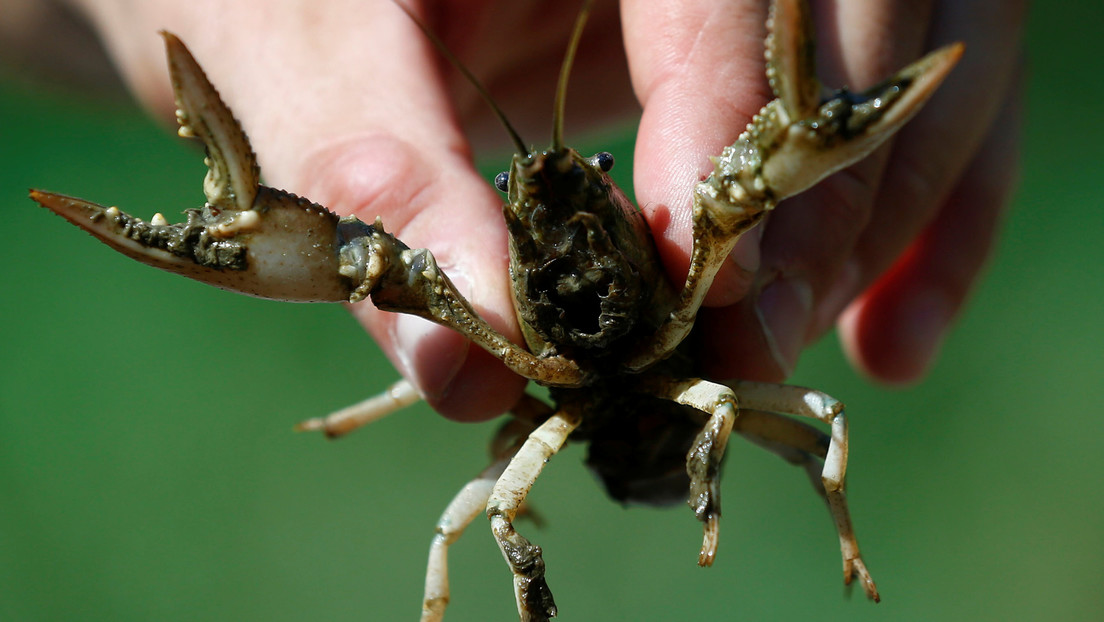 """Restos de antidepresivos que circulan en aguas residuales vuelven a los cangrejos de río más """"valientes"""""""