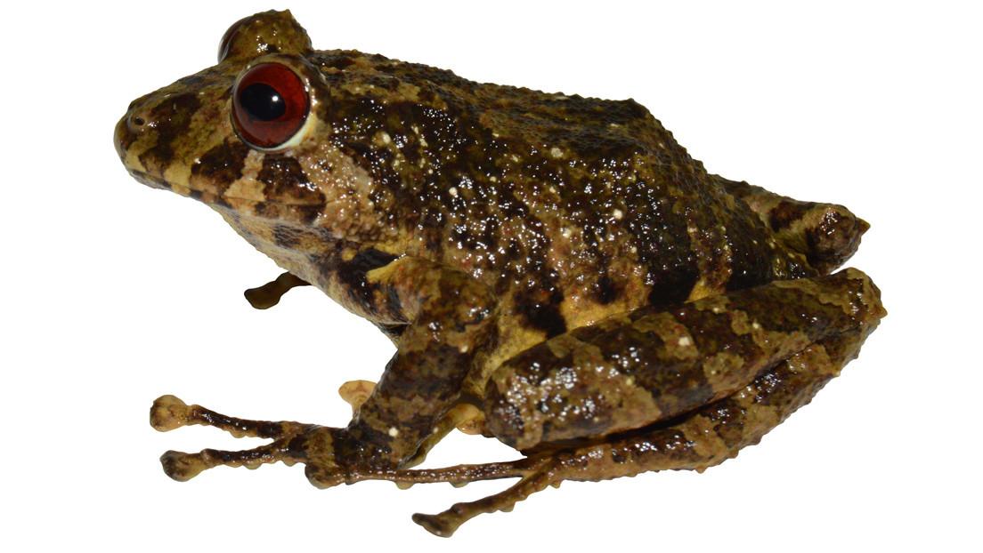 Esta es la nueva especie de rana terrestre descubierta en Suramérica que lleva el nombre de una mítica banda de rock