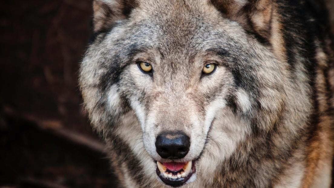 VIDEO: Imágenes de lobos persiguiendo y luchando con los actores de un espectáculo en China se vuelven virales