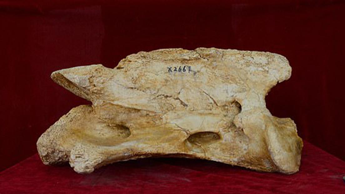 """""""Uno de los mamíferos terrestres más grandes que haya existido"""": Este rinoceronte gigante vivió en China hace 26 millones de años"""
