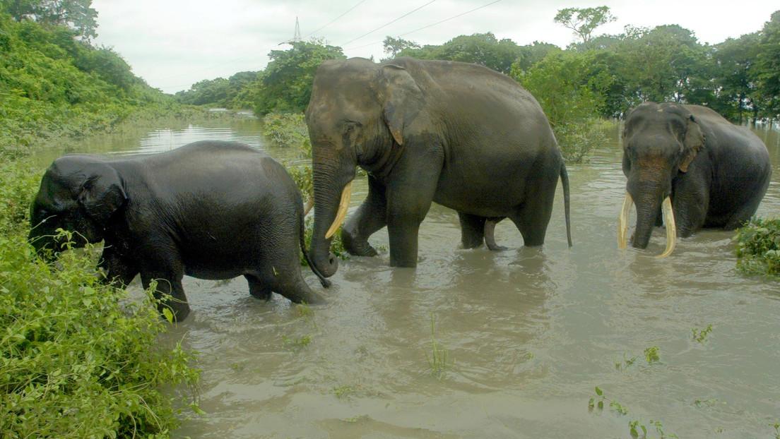 """Un elefante 'renegado' mata a 16 personas en la India tras ser expulsado de su manada """"por mal comportamiento"""""""