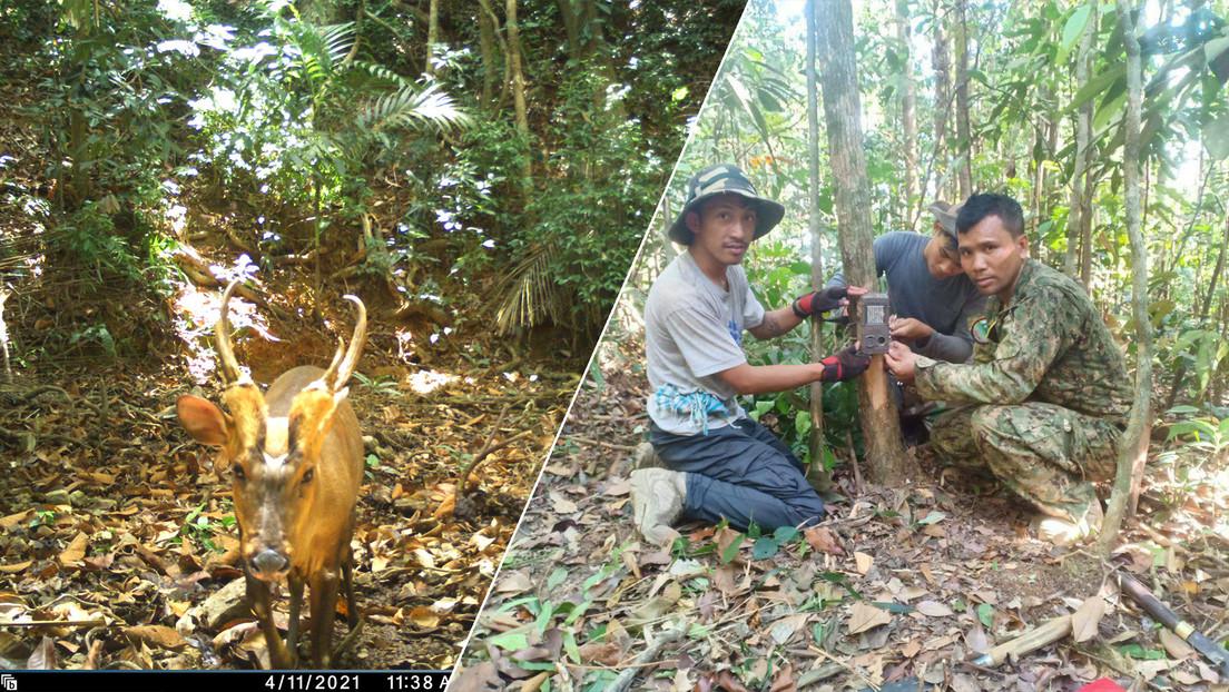 Avistan por primera vez en Camboya un ciervo ladrador, una especie en peligro crítico de extinción (FOTOS)