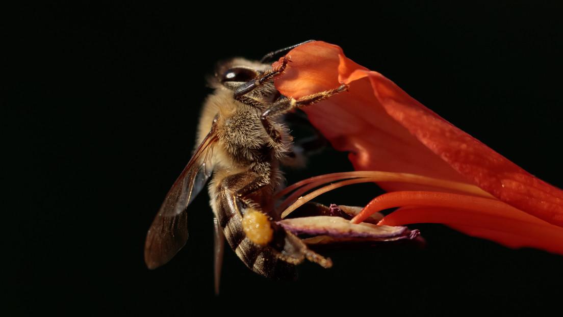 Un estudio descubre que una subespecie de abejas reproduce clones debido a una casualidad genética