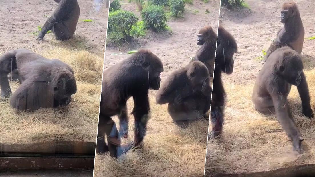 La reacción de unos gorilas al descubrir una serpiente dentro su jaula cautiva a las redes y ya tiene más de 12 millones de visualizaciones en TikTok