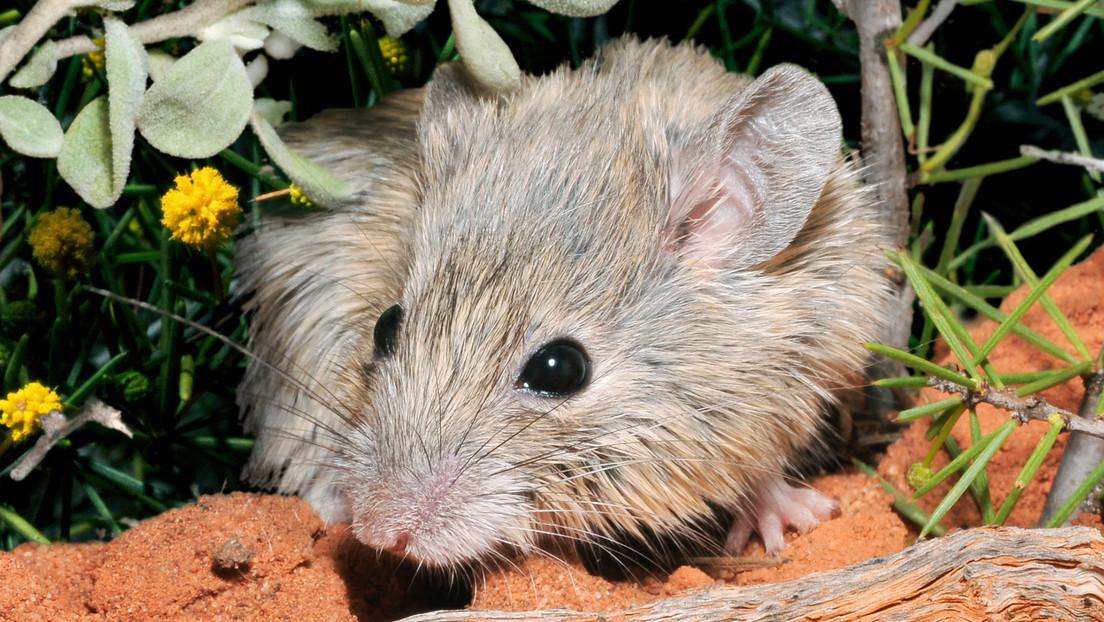 Redescubren un roedor dado por extinto en Australia hace más de 150 años