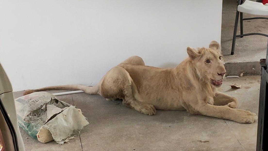 FOTOS: Videos de TikTok llevan a rescatar de una casa en Camboya a un león criado como mascota