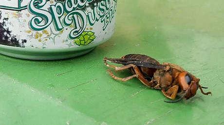 FOTOS: Encuentran el primer avispón asiático 'asesino' del 2021 de EE.UU. en una área completamente nueva
