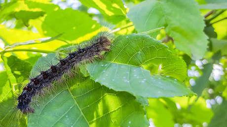Una plaga de orugas de polilla gitana azota el estado de Nueva York acabando con árboles e incomodando con sus heces