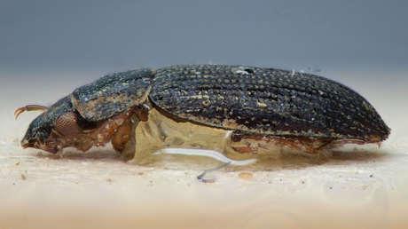 VIDEO: Encuentran escarabajos que andan bocabajo por la parte inferior del agua, como si caminaran 'por el techo'