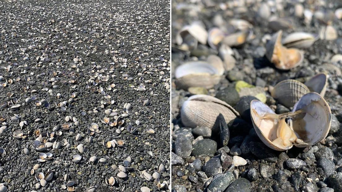 La fuerte ola de calor en EE.UU. provoca que cientos de almejas se cuezan en una playa (FOTOS)