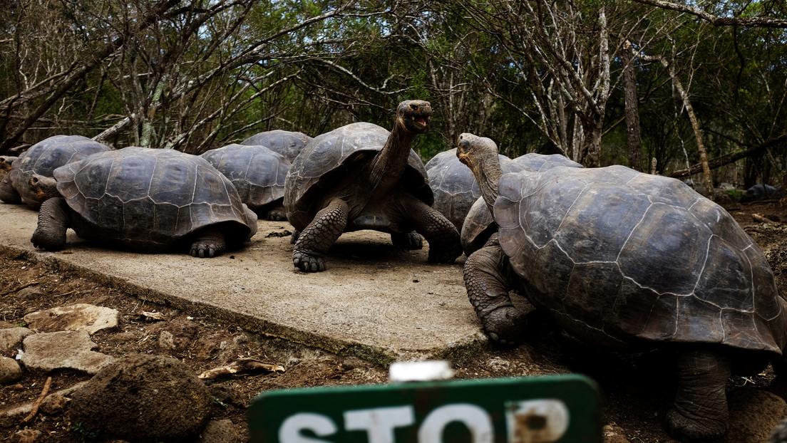 Un estudio revela resistencia a antibióticos en tortugas gigantes de las islas Galápagos