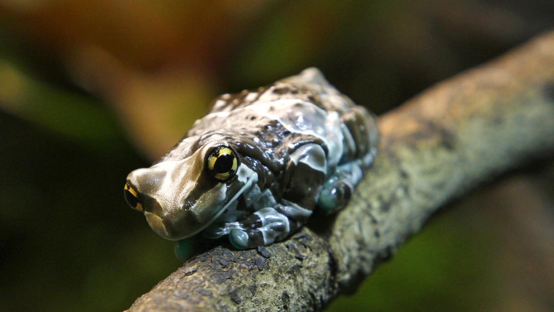 Descubren en el Amazonas una 'rana zombi' que emerge de la tierra solo cuando llueve (FOTO)