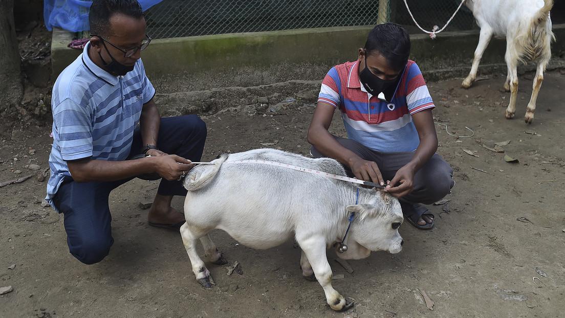Miles de personas acuden a ver una vaca enana en Bangladés a pesar de las restricciones por el coronavirus