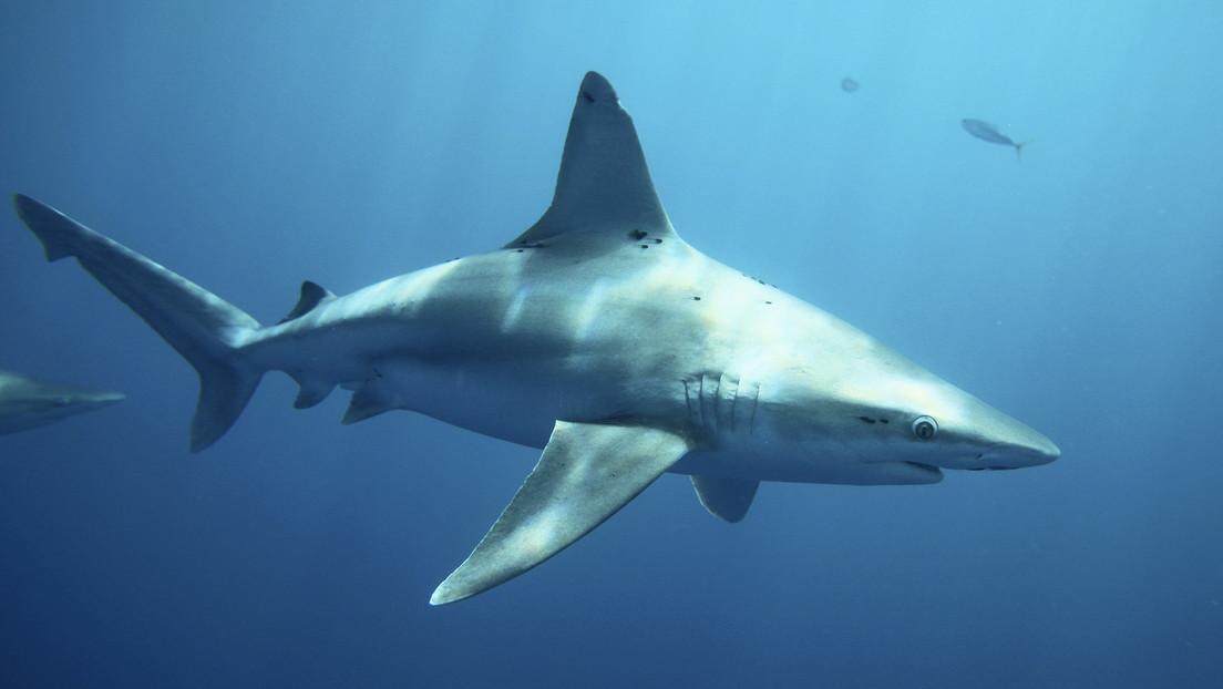 """Australia cambia el término """"ataques"""" de tiburones por """"encuentros negativos"""" para disipar la percepción de """"monstruo devorador de hombres"""""""