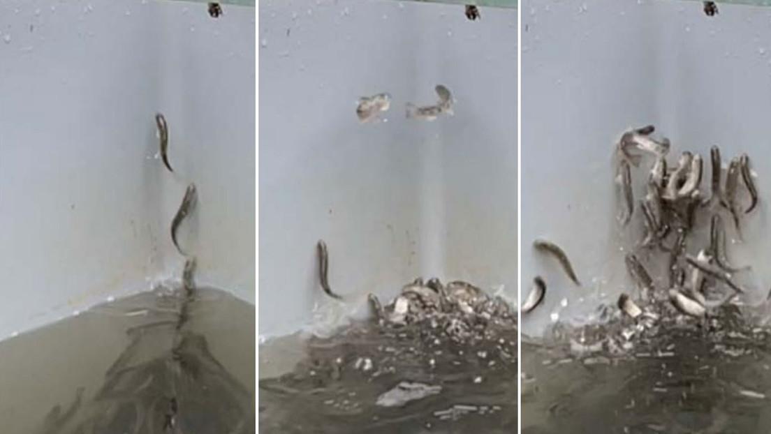 Salmones jóvenes 'se vuelven locos' en un criadero de peces de Alemania tras supuestamente intoxicarse con cocaína