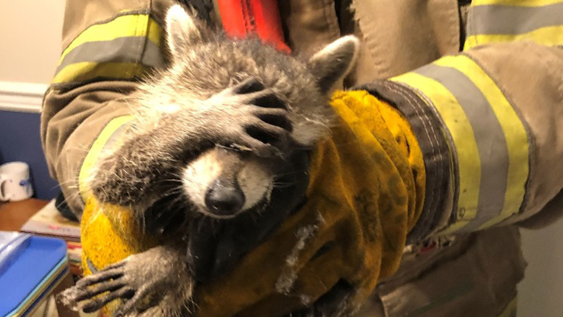 FOTO: Pillan a un mapache robando comida y 'se avergüenza' al ser rescatado por los bomberos