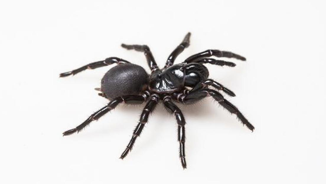 Científicos descubren que el veneno de una mortífera araña podría 'reparar' los corazones de víctimas de ataques cardíacos