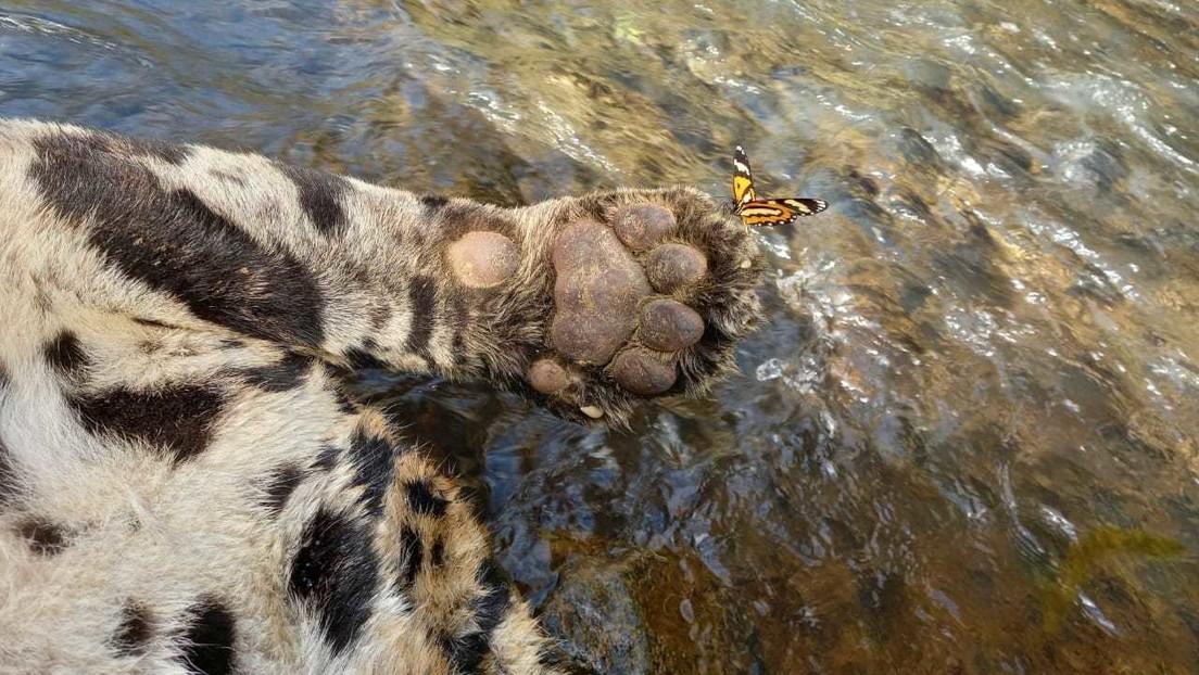 50 perdigones y arrojado desde un puente a un río: La muerte de uno de los últimos jaguares en la Mata Atlántica de Brasil