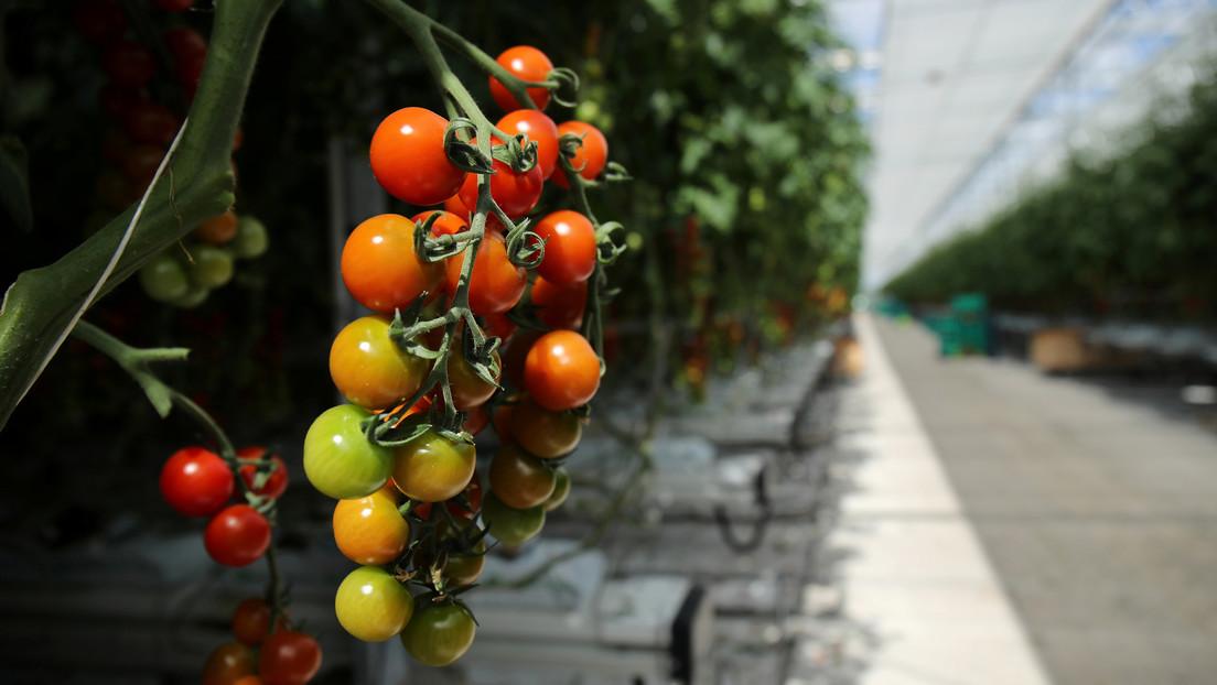 Descubren que los tomates tienen una especie de 'sistema nervioso' que advierte a la planta sobre los ataques para que se defienda